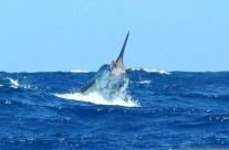 Westwood blue marlin fishing