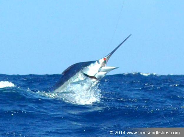 Westwood Vanuatu blue marlin fish