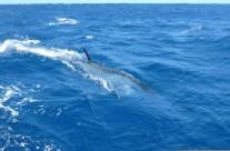 Westwood Vanuatu marlin fishing